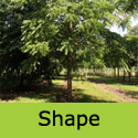 Black Walnut Tree, Juglans Nigra 15 - 30cm Trees, GOOD WOOD + AWARD   **FREE UK MAINLAND DELIVERY + FREE LIMITED 3 YEAR TREE WARRANTY**