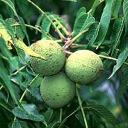 Black Walnut Tree (Juglans nigra) Supplied height 1.5 to 1.7 metres in a 12 litre container **FREE UK MAINLAND DELIVERY + FREE 100% TREE WARRANTY**