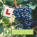 Boskoop Glory grape vine for learner grape growers.