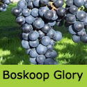 Boskoop Glory Grape Vine