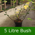 Brown Turkey Fig Tree, height 0.6 - 2.4m, 1-4 years old, FRUIT SAME YEAR + VERY POPULAR +TOUGH HARDY FIG TREE   **FREE UK MAINLAND DELIVERY + FREE 100% TREE WARRANTY**