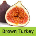 Brown Turkey Fig Tree, height 0.4 - 2.4m, 1-4 years old, FRUIT SAME YEAR + VERY POPULAR +TOUGH HARDY FIG TREE   **FREE UK MAINLAND DELIVERY + FREE 100% TREE WARRANTY**