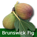 Brunswick Fig Tree, Self Fertile, Height 0.50 - 1.00 metre in a 5L pot, 2-3 years old, LARGE FRUITS **FREE UK MAINLAND DELIVERY + FREE 100% TREE WARRANTY**