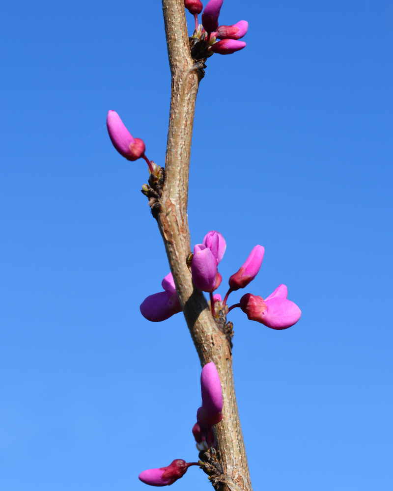 Mature Chinese Redbud Avondale Cercis Avondale. AWARD + EARLY PINK FLOWERS + SMALL*** FREE DELIVERY + TREE WARRANTY***