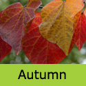 Cercis Canadensis Forest Pansy Autumn leaf
