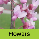 Cercis Canadensis Forest Pansy Flowers