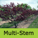 Cercis Canadensis Forest Pansy Multi Stem Option