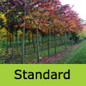 Cercis Canadensis Forest Pansy standard shape