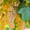 Chardonnay Grapevine (Vitis vinifera 'Chardonnay') EATING & WINE GRAPE Indoor or Outdoor grown *FREE UK MAINLAND DELIVERY + FREE 100% TREE WARRANTY**