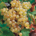 Chasselas Doré De Fontainebleau Grapevine (Vitis vinifera 'Chasselas Doré De Fontainebleau') EATING & WINE VARIETY **FREE UK MAINLAND DELIVERY + FREE 100% TREE WARRANTY**