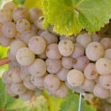 "<font color=""red"">DELIVERED AUGUST 2020</font> Chenin Blanc Grapevine (Vitis vinifera 'Chenin Blanc') INDOOR WINE VARIETY **FREE UK MAINLAND DELIVERY + FREE 100% TREE WARRANTY**"