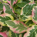 <font color=&quot;red&quot;>DELIVERED AUGUST 2019</font> Cherokee Daybreak North American Flowering Dogwood Tree (Cornus florida 'Cherokee Daybreak') Supplied height 0.8 - 1.3 m in a 7 or 12 litre container **FREE UK MAINLAND DELIVERY + FREE 100% TREE WARRANTY**