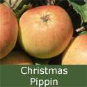 Christmas Pippin (C3) Apple Tree, EXTREMELY POPULAR + EASY TO GROW + LARGE CROPS, 2-3 Years old, 1.0m - 2.00m tall, **FREE UK MAINLAND DELIVERY + FREE 100% TREE WARRANTY**