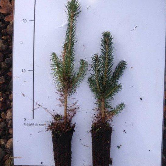 Colorado Blue Spruce Tree (Picea pungens glauca) 10-20cm Trees**FREE UK MAINLAND DELIVERY + FREE 100% TREE WARRANTY**