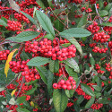 Bare Root Cornubia Cotoneaster Tree