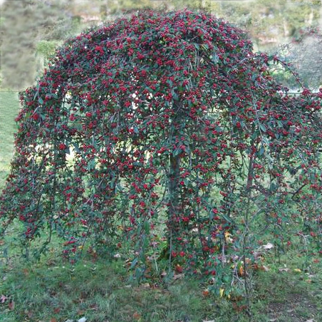 Weeping Cotoneaster Tree on Japanese Katsura