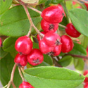 Weeping Cotoneaster Tree (Cotoneaster Hybridus Pendulus) 1.5-2.00m, 12L Pot. SMALL + HARDY +  EVERGREEN + PLANT ANYWHERE + DROUGHT TOLERANT + COAST **FREE UK MAINLAND DELIVERY + FREE 100% TREE WARRANTY**