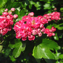 Double Red Flowered or Midland Hawthorn Tree (Crataegus laevigata 'Pauls Scarlet') Supplied height 1.5 to 2.5 m **FREE UK MAINLAND DELIVERY + FREE 100% TREE WARRANTY**