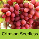 Crimson Seedless Grape Vine, Eating, Red, Outdoor, SEEDLESS + HEAVY CROPPER + LATE FRUIT  **FREE UK DELIVERY + FREE 3 YEAR LTD WARRANTY**