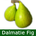 Dalmatie Fig Tree, Self Fertile, Height 0.50 - 1.00 metre in a 5L pot, VERY LARGE FRUIT + LARGE CROP   **FREE UK MAINLAND DELIVERY + FREE 100% TREE WARRANTY***