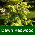 Dawn Redwood Tree Gold Rush (Metasequoia glyptostroboides `Gold Rush`) Supplied 1.3-2.40 m in 7- 20 litre container **FREE UK MAINLAND DELIVERY + FREE 100% TREE WARRANTY**