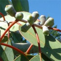 <font color=&quot;red&quot;>DELIVERED AUGUST 2017</font> Tingiringi Gum (Eucalyptus Glaucescens) 20 - 40cm Hedge Trees, FAST GROWING + SCENTED FOLIAGE + BIOFUEL**FREE UK MAINLAND DELIVERY + FREE 100% TREE WARRANTY**
