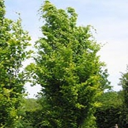 Dawyck Gold Beech Tree, Supplied height 1.5 - 2.0m, 4-5 years old, 12L POT, AWARD + LONG LIVED + EXPOSED SITES + LOW MAINTENANCE + CLAY TOLERANT + SLOW GROWING + COLUMNAR **FREE UK MAINLAND DELIVERY + FREE 100% TREE WARRANTY**