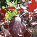Weeping Purple or Copper Beech Tree, Fagus Sylvatica Purpurea Pendula, Supplied 1.2 -2.00 metres in a 5-12 L Pot**PRICE INCLUDES FREE UK MAINLAND DELIVERY**
