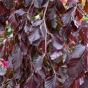Purple Fountain Weeping Purple Beech Tree (Fagus sylvatica 'Purple Fountain') 1.5-2.0m, 12L Pot, 4-5 years old **FREE UK MAINLAND DELIVERY** + FREE 3 YEAR TREE WARRANTY ***
