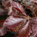 Riversii Purple Beech Tree (Fagus sylvatica 'Riversii') AWARD + EXPOSED + DARK PURPLE FOLIAGE Supplied height 1.25 to 2.0m**PRICE INCLUDES FREE UK MAINLAND DELIVERY**
