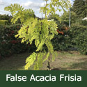 False Acacia Frisia (Robinia pseudoacacia `Frisia`) Supplied height 1.5 to 2.4 m, 2-3 Years old, 10-15L container  **FREE UK MAINLAND DELIVERY + FREE 100% TREE WARRANTY**