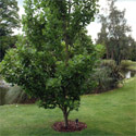Fastigiatum Tulip Tree,  Supplied 1.5 -  2.2 metres in a 10-20L  pot, HIGHLY ORNAMENTAL **FREE UK MAINLAND DELIVERY + FREE 100% TREE WARRANTY**