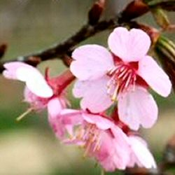 Flowering Cherry Tree Kursar (Prunus `Kursar) Supplied height 1.5-2.0m in a 12 litre container**FREE UK MAINLAND DELIVERY + FREE 100% TREE WARRANTY**