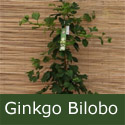 Maidenhair Tree Ginkgo Biloba As Supplied