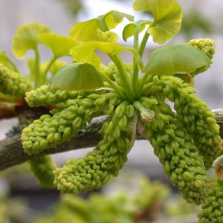 Maidenhair Tree Ginkgo Biloba Catkins