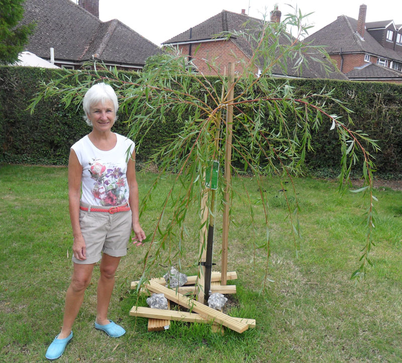 How to grow a weeping willow