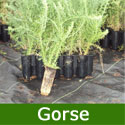 Gorse Shrub (Ulex europeaus) 15-30cm **FREE UK MAINLAND DELIVERY + FREE 100% TREE WARRANTY**