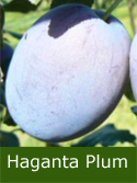 Haganta Plum Tree (C3) Eating, Fruits September, Height 1.5m-2.0m, 2-3 years Old, 12L pot, BIG PLUMS + KEEPS WELL + LOW DISEASE + FREE UK MAINLAND DELIVERY + 100% TREE WARRANTY