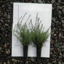 Scotch Heather Shrubs (Calluna vulgaris) 10 - 20cm Shrubs**FREE UK MAINLAND DELIVERY + FREE 100% TREE WARRANTY**
