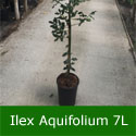 Common Holly Tree (Ilex aquifolium) Supplied height 1.0 metres in a 7 litre container **FREE UK MAINLAND DELIVERY + FREE 100% TREE WARRANTY**