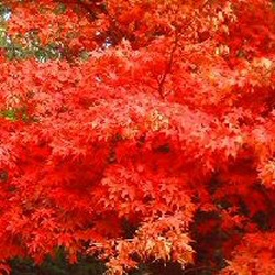 Osakazuki Japanese Maple Tree (Acer palmatum Osakazuki) Supplied height 90-150cm in a 7 -15 litre container **PRICE INCLUDES FREE UK MAINLAND DELIVERY**