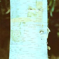 Jermyns White Birch Tree (Betula utilis 'Jermyns') Supplied height 1.5 to 1.8 metres in a 12 litre container **FREE UK MAINLAND DELIVERY + FREE 100% TREE WARRANTY**
