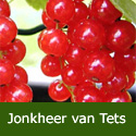 Redcurrant (Ribes) Jonkheer van Tets 3 Litre Containerised Bushes **FREE UK MAINLAND DELIVERY + FREE 100% TREE WARRANTY**