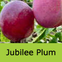 Jubilee Plum Tree (C3) Eating, Fruits Mid August, Supplied Height 1.5m-2.0m, 2-3 Years Old, 12L pot, SELF FERTILE + GREAT QUALITY + FREE UK MAINLAND DELIVERY + 100% TREE WARRANTY
