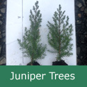 Common Juniper (Juniperus communis), 15 - 30cm Trees, EVERGREEN + USED FOR GIN + SLOW GROWING+ DROUGHT RESISTANT **FREE UK MAINLAND DELIVERY + FREE 100% TREE WARRANTY**