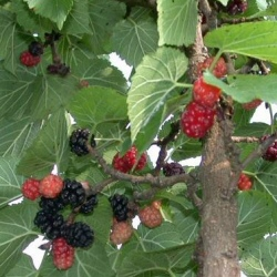 King James Black Mulberry Tree, 2-3 Years Old, 1.5-2.00+ metres tall, SELF FERTILE + VERY POPULAR + LARGE FRUIT + INTENSE FLAVOUR *** FREE UK MAINLAND DELIVERY + 100% TREE WARRANTY ***
