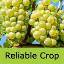 Reliable Lakemont Grape Vine