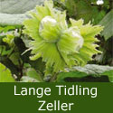 Lange Tidling Zeller Hazelnut Tree Supplied height 1.0 metres in a 7 Litre Container, 2-3 Years Old,  HEAVY CROP + COMPACT SHAPE  **FREE UK MAINLAND DELIVERY + FREE 100% TREE WARRANTY**