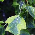 DELIVERED AUGUST 2021 Aureomarginatum Tulip Tree (Liriodendron Tulipifera Aureomarginatum) Supplied 1.50-2.20 m supplied in a 7L container. INTERESTING LEAVES + AWARD + CHALK TOLERANT + ATTRACTS BEES **FREE UK MAINLAND DELIVERY + FREE 100% TREE WARRANTY**