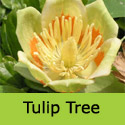 Tulip Tree Liriodendron Tulipifera Supplied height up to 2.20 metres, 2-3 years old, ORNAMENTAL + AWARD + FAST GROWING + CHALK TOLERANT  **FREE UK MAINLAND DELIVERY + FREE 100% TREE WARRANTY**